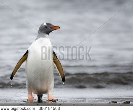 A Penguin Colony In Antarctica, Beautiful Penguins Near Of The Water, A Wet Penguin