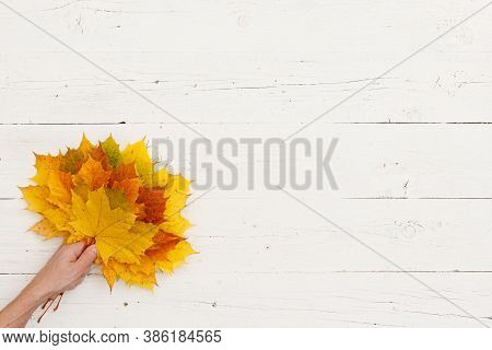 A Lot Of Painted Maple Leaves In The Hands Of A Man On The Background Of A White Textured Wooden Tab
