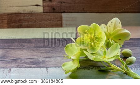 Background With Yellow Green Helleborus Viridis Or Christmas Rose On A Colorful Wooden Background
