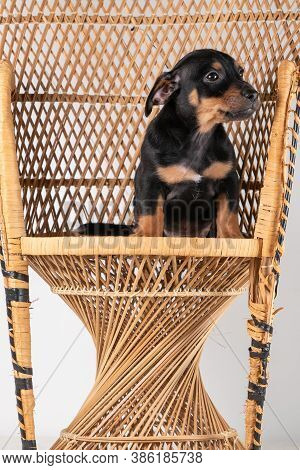 A Portrait Of A Cute Jack Russel Terrier Dog Sitting On A Rattan Chair, Isolated On A White Backgrou