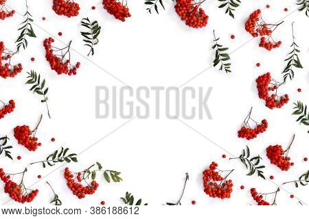 Frame Of Red Berries European Rowan ( Sorbus Aucupari ) On A White Background With Space For Text. T