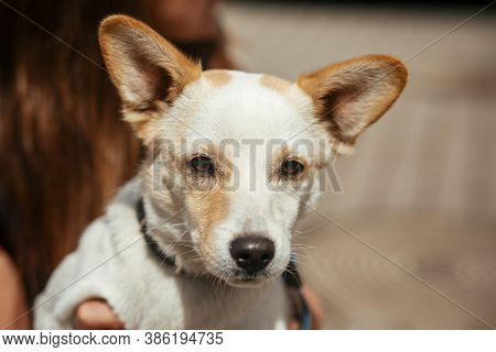 Volunteer Holding Little Stray Dog In Sunny Street, Homeless Doggy