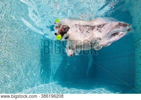 Underwater Funny Photo Of Jack Russell Terrier Puppy Playing With Fun In Swimming Pool - Jump, Dive