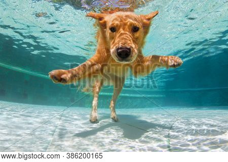 Underwater Funny Photo Of Golden Labrador Retriever Puppy In Swimming Pool Play With Fun - Jump, Div