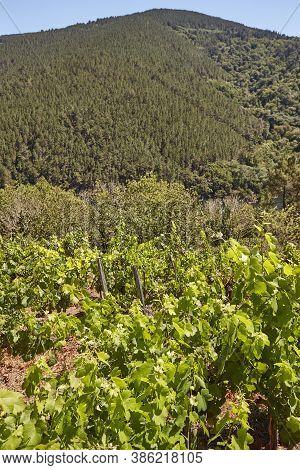 Ribeira Sacra Terrace Vineyards In Ourense. Galicia, Spain