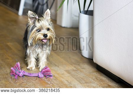 Playful Yorkshire Terrier Puppy Wants To Play With The Owner. The Dog Standing At Home Next To The T