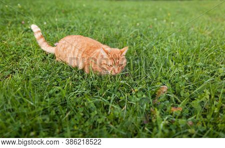 Shorthair Red Tabby Cat With Orange Eyes Crouched In Green Fresh Grass In Autumn. Cute Ginger Animal