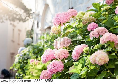 Hydrangea Bushes At Town Street In Europe. Pink, Blue, Lilac, Violet, Purple Flowers Blooming In Spr