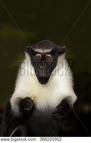 Diana Monkey Cercopithecus Diana On  Black Background