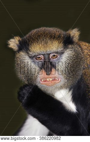 Head Close-up Of Campbell's Monkey Cercopithecus Campbelli Showing Teeth