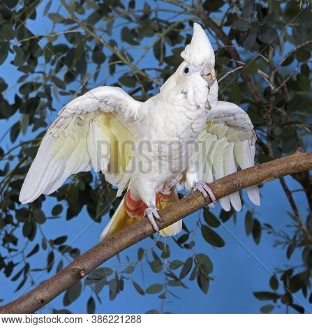 Philippine Cockatoo Or Red-vented Cockatoo, Cacatua Haematuropygia, Adult Standing On Branch With Op