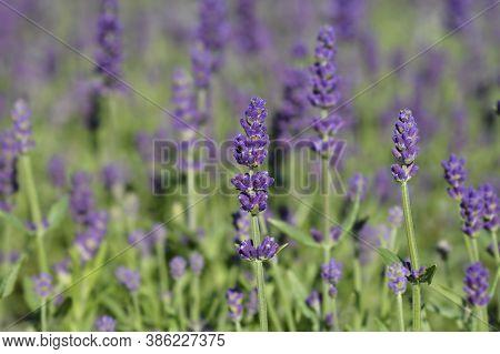 English Lavender Ellagance Purple - Latin Name - Lavandula Angustifolia Ellagance Purple