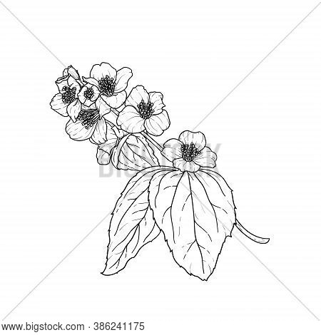 Black And White Branch Flower Jasmine Outline Isolated On Background. Hand-draw Contour Line And Str