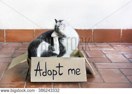 Adoptation Of Pets Concept. A Gray-white Adult Flea Cat Sitting In A Cardboard Box With An Text