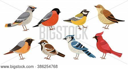 Wild Forest Birds. Winter Wildlife Animal, Birds Chickadee Robin Cardinal. Isolated Wild Or Garden F