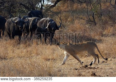 The Transvaal Lion (panthera Leo Krugeri), Young Lioness In Conflict With A Herd Of Cape Buffalo.lio