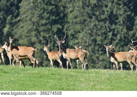 A Herd Of Deer Buck And Ladies Deer Walks Across A Meadow To Graze
