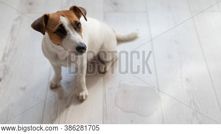 Guilty Dog Jack Russell Terrier Pissed Puddle On The Wooden Floor