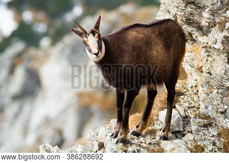 Tatra Chamois Standing On Rock Mountains In Winter Time.