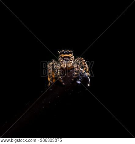 Close Up Image Of A Jumping Wolf Spider Resting On A Metal Stick