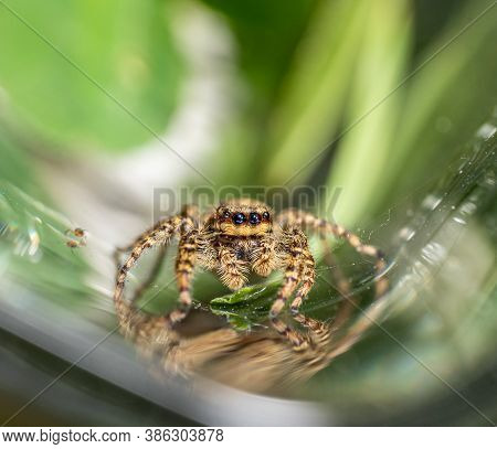 Jumping Wolf Spider Close Up View Looking Into The Camera