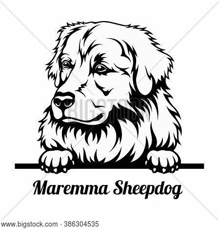 Peeking Dog - Maremma Sheepdog Breed - Head Isolated On White