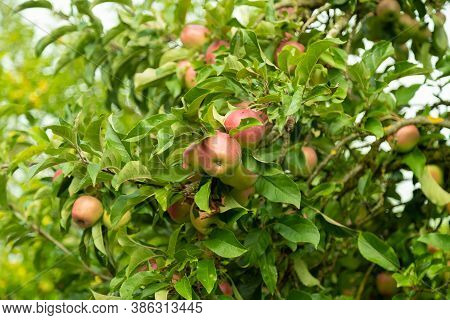 Red-green Gala Apples Surrounded By Juicy Green Leaves In Late Autumn During The Day