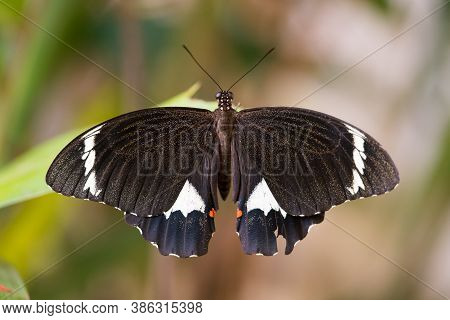 Large Butterfly In Garden, The Citrus Orchard Swallowtail Lays Its Eggs On Citrus Trees