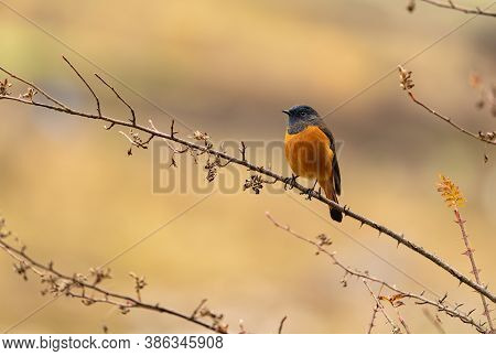 Front Side Of Blue-fronted Redstart Perching On Tree Stick With Sharp Feathers In Details Spotted At