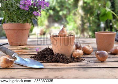 Bulb Of Flowers In A Terra Cotta  Pot Among Dirt On A Wooden Garden Table
