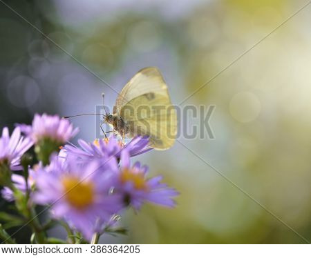 Close On Pieride Butterfly Gathering Pink Aster Flowers  On Blur Background