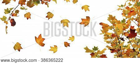 Golden And Brown Autumnal  Leaf Of A Mapple Tree In Panoramic View On White Background