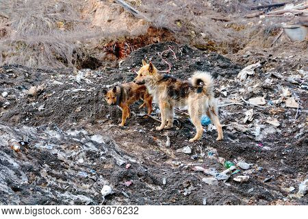 Gang Of Dogs At The Dump In The Center Of Kazan, Russia