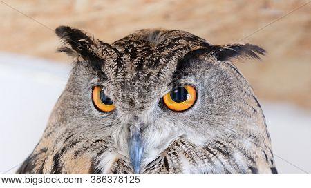 The Head Of The Eurasian Eagle Owl - Bubo Bubo. Close Up.