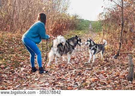 Two Big Dogs On A Walk Get To Know Each Other