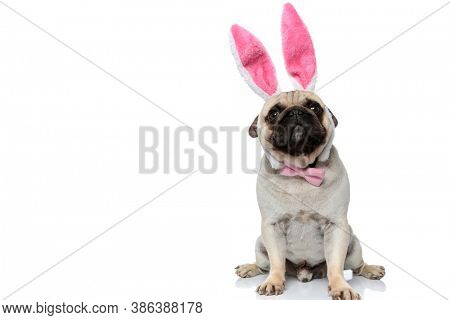 Clumsy Pug puppy wearing heaband with rabbit ears and bowtie while sitting on white studio background