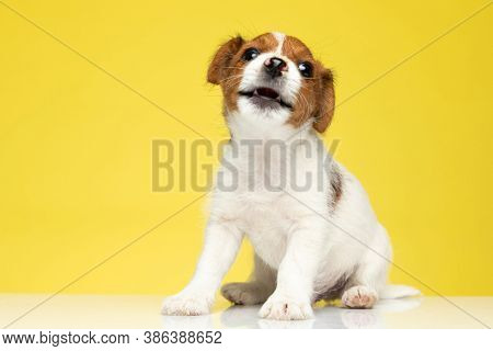 Clumsy Jack Russell Terrier being playful with his mouth open while sitting on yellow studio background