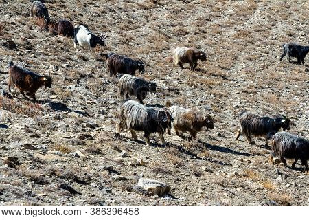 Flock Of Wild Goats In The Mountains. Mountain Wild Animals, Nepal