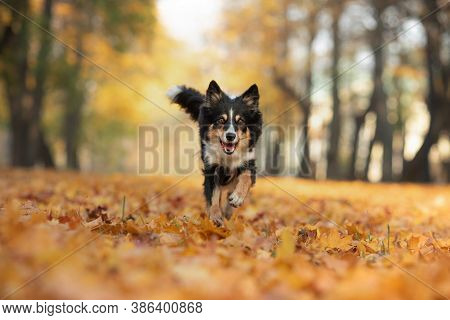 Dog In The Leaves In Nature. Border Collie In Autumn Park.