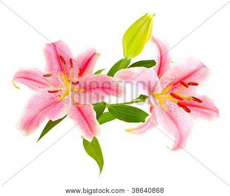 Pink lilies (lily / Lilium) isolated on white. Carefully shot so that it is completely floating in white background for ease of use.