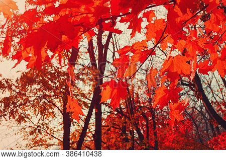 Fall colorful bright leaves swinging in a autumn tree in autumnal park. Autumn colorful background, fall backdrop with red autumn leaves. Fall landscape, autumn colorful leaves