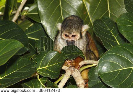 Squirrel Monkey, Saimiri Sciureus, Adult Standing In Tree