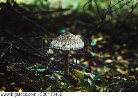 Toadstool Mushrooms. Forest Mushroom Grebe In The Autumn Forest. Toadstools Close-up. Nature Backgro