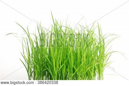Rice Seedlings Isolated On White Background. Green Grass Border Isolated On White Background.the Col