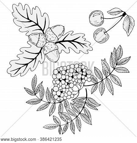 Black And White Berries, Rowanberry, Cherry And Acorns, Isolate On A White Background