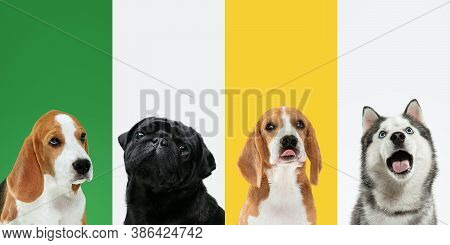 Smells Tasty. Stylish Adorable Dogs Posing. Cute Doggies Or Pets Happy. The Different Purebred Puppi