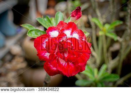 Closeup Of The Single Desert Rose. Adenium Obesum Or Impala Lily Or Mock Azalea Or Desert Rose Or Sa