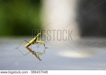 European Mantis Or Praying Mantis, Mantis Religiosa. Green Praying Mantis.