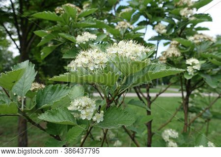 Ivory White Flowers Of Sorbus Aria In Mid May