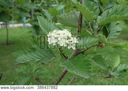 Macro Of Corymb Of White Flowers Of Sorbus Aria In Mid May